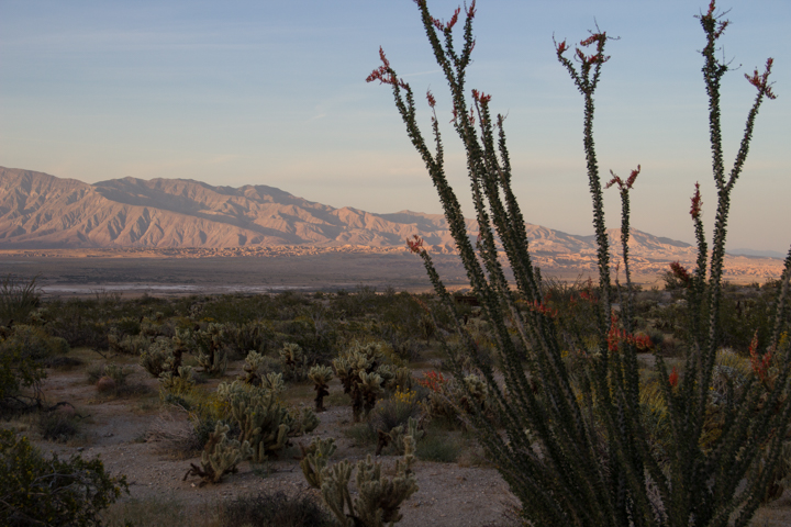 Flowering Ocotillo at sunset – Anza Borrego Desert