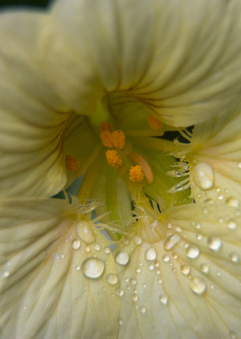 Nasturtium after rain