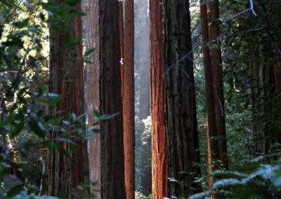 Redwood Grove in West Marin