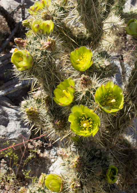 Flowering cholla cactus