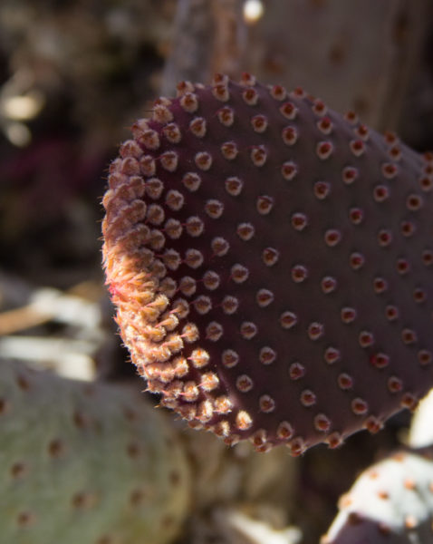 Spines of a beavertail cactus