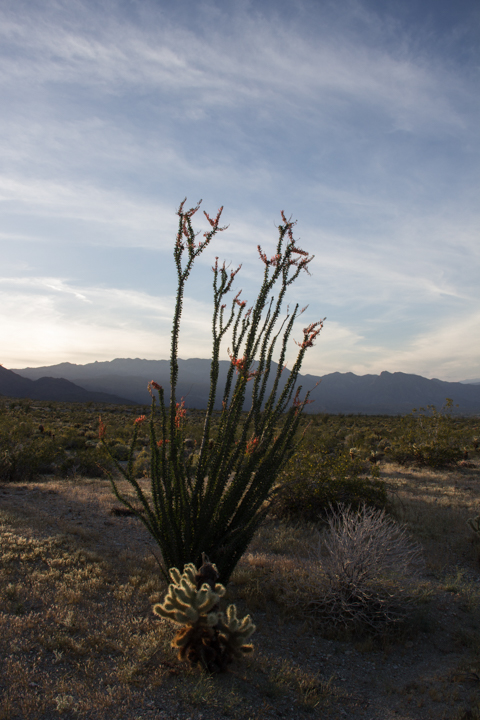 Flowering ocotillo, dusk at Anza Borrego