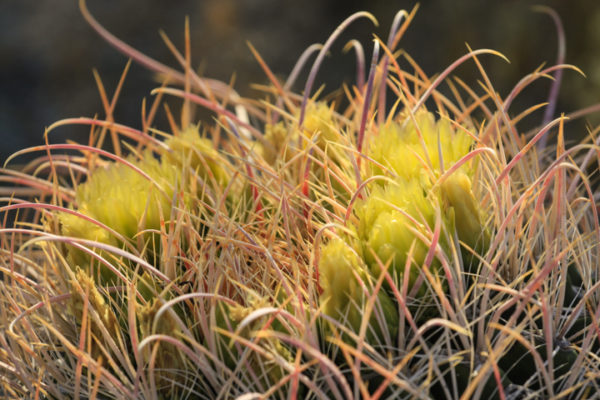 Flowering barrel cactus3