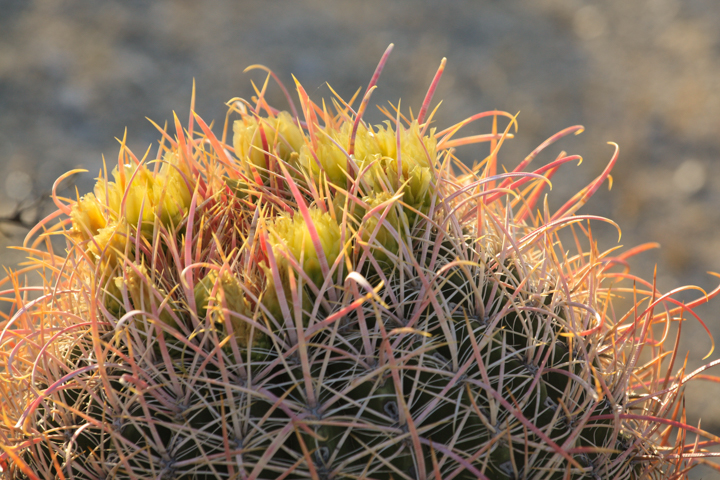 Flowering barrel cactus2